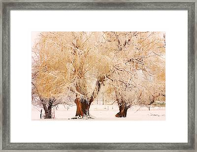 Three Golden Frosted Trees Framed Print