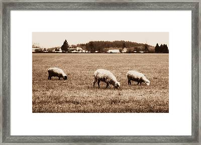 Three Grazing Sheep Framed Print by Cathie Tyler