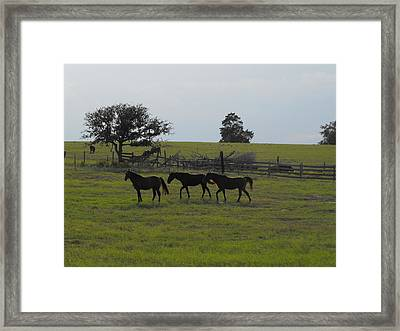 Three Horses Framed Print by Rebecca Cearley