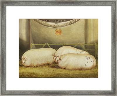 Three Improved Leicesters In A Pen At 1858 Smithfield Club Christmas Show Framed Print