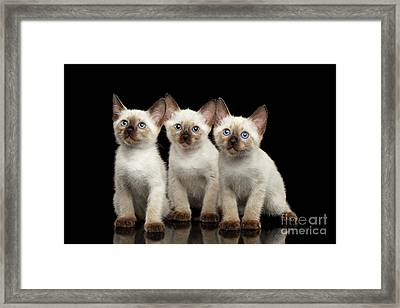 Three Kitty Of Breed Mekong Bobtail On Black Background Framed Print