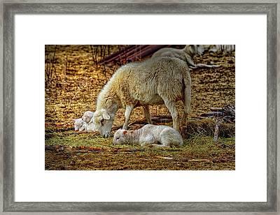 Three Lambs And A Sheep Framed Print by Bob Orsillo