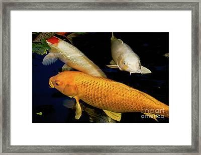 Three Large Koi  Framed Print
