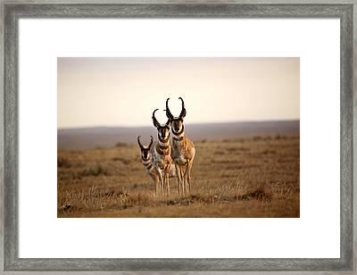Three Male Pronghorn Antelopes In Alberta Framed Print