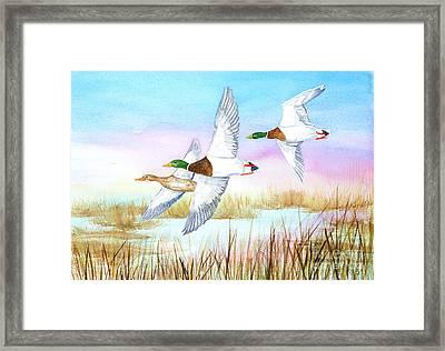 Three Mallards Framed Print by Pauline Ross