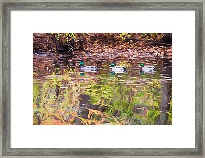 Three Mallards. Framed Print