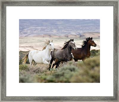 Three Mares Running Framed Print by Carol Walker