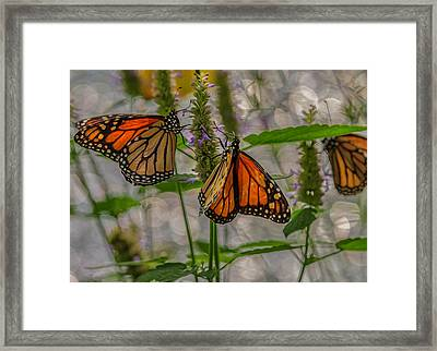 Three Monarch Butterfly Framed Print