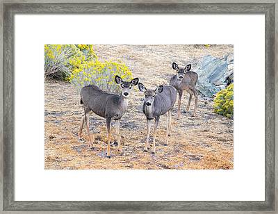 Framed Print featuring the photograph Three Mule Deer In High Desert by Frank Wilson