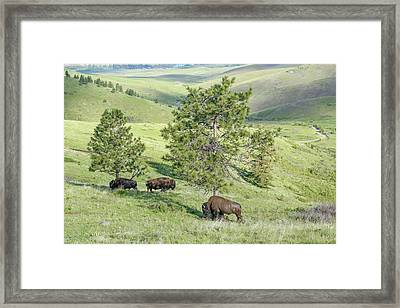 Three North American Bull Bison Browsing On A Green Grassy Mount Framed Print