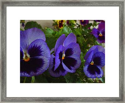 Three Pansys Framed Print by Karen Wallace