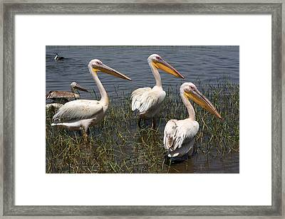 Three Pelicans Framed Print by Aidan Moran