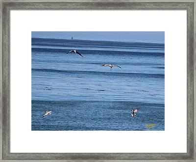 Three Pelicans Diving Framed Print
