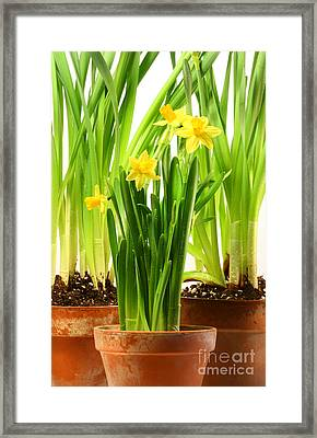 Three Pots Of Daffodils On White  Framed Print by Sandra Cunningham