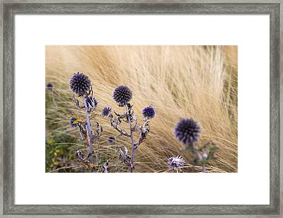 Three Purple Echinops Framed Print by Helga Novelli