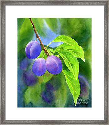 Three Purple Plums With Background Framed Print