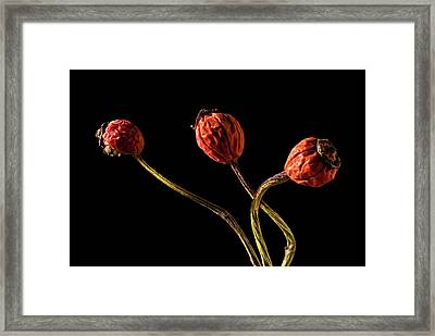 Three Rose Hips Framed Print