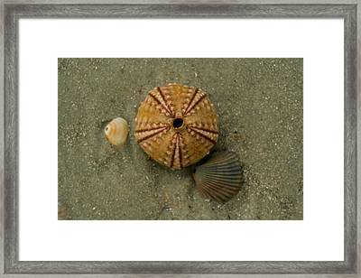 Three Shell Study Framed Print by Todd Breitling