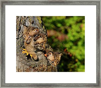 Three Sibling Bobcat Kittens Looking Out From A Tree Hollow Den  Framed Print by Reimar Gaertner