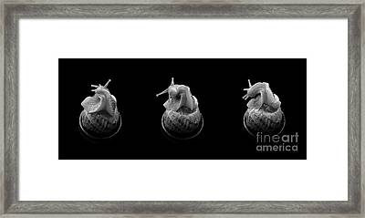Three Snails Framed Print