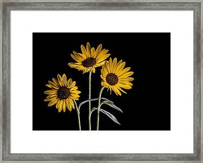 Three Sunflowers Light Painted On Black Framed Print