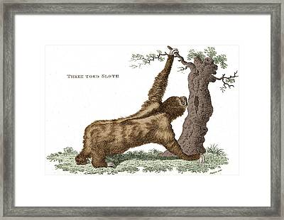 Three-toed Sloth, Historical Etching Framed Print by Science Source