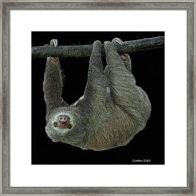 Three-toed Sloth Framed Print by Larry Linton