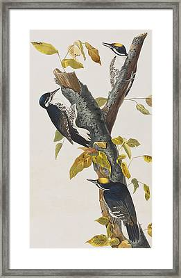Three Toed Woodpecker Framed Print by John James Audubon