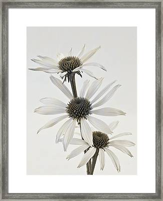 Three White Coneflowers Framed Print by Sandra Foster
