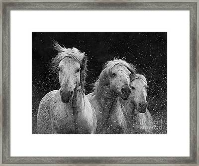 Three White Horses Splash Framed Print by Carol Walker