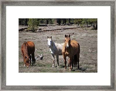Three Wild Horses Framed Print by Donna Greene