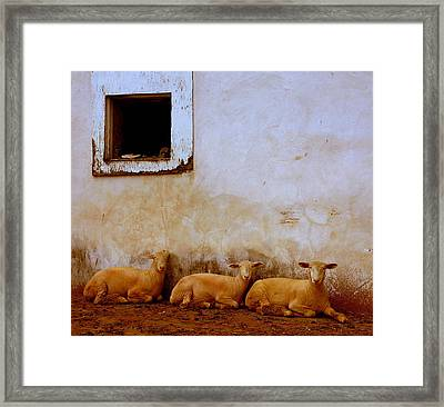 Three Wise Sheep Framed Print