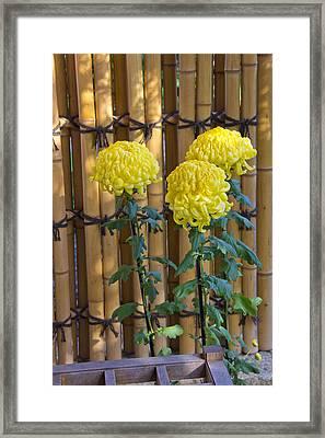 Three Yellow Blooms Framed Print