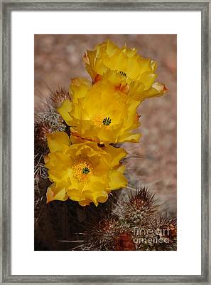 Three Yellow Cactus Flowers Framed Print