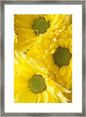 Three Yellow Daisies  Framed Print by Garry Gay