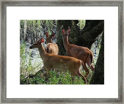 Three Young Bucks Framed Print by Bruce W Krucke
