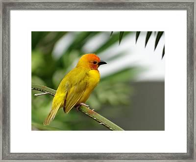 Through A Child's Eyes - Close Up Yellow And Orange Bird 1 Framed Print