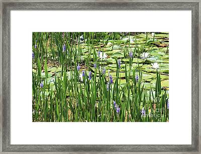 Through The Lily Pond Framed Print by Carol Groenen
