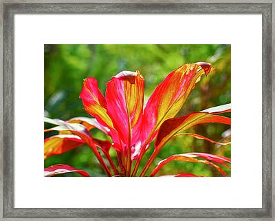 Ti Plant Good Fortune Framed Print by John M Bailey
