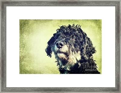 Tibet-terrier Poodle Mix  Framed Print by Angela Doelling AD DESIGN Photo and PhotoArt
