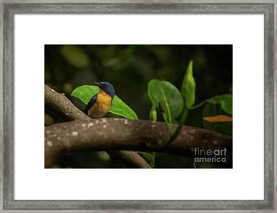 Tickell's Blue Flycatcher Framed Print by Venura Herath