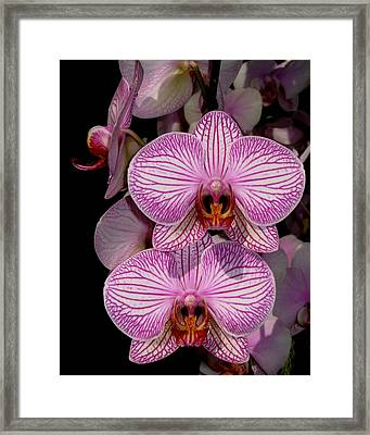 Tickled Pink Framed Print by Betnoy Smith