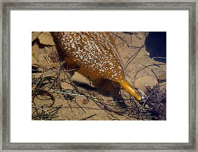 Tidepool Kelp Framed Print by Mary Haber