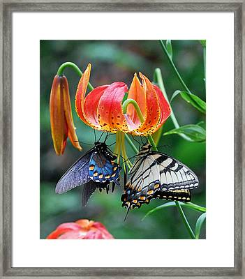 Tiger And Black Swallowtails On Turk's Cap Lilly Framed Print