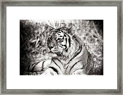 Tiger Framed Print by Angela Aird