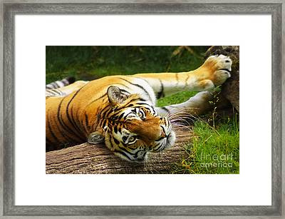 Tiger Framed Print by Angela Doelling AD DESIGN Photo and PhotoArt