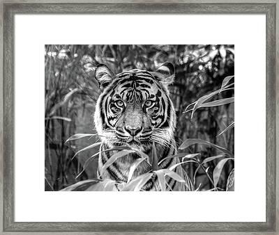 Tiger B/w Framed Print