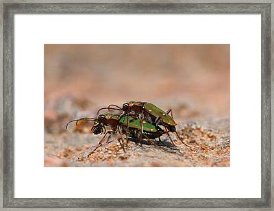 Framed Print featuring the photograph Tiger Beetle by Richard Patmore