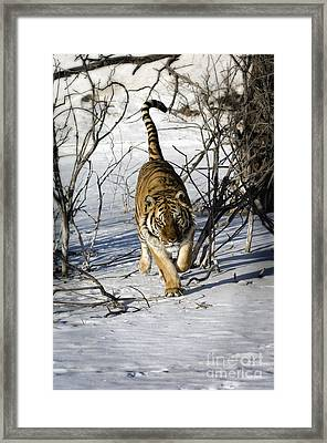 Tiger -  By The Tail Framed Print by Wildlife Fine Art