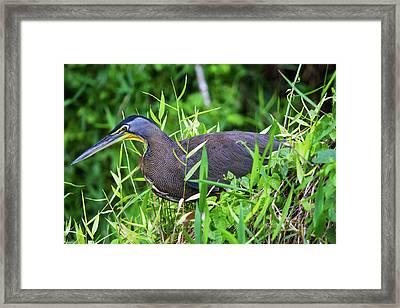Tiger Heron 2 Framed Print